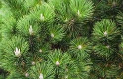 Le foglie verdi del pino si chiudono su L'albero di abete lascia il fondo di struttura fotografia stock libera da diritti