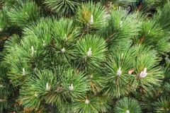 Le foglie verdi del pino si chiudono su L'albero di abete lascia il fondo di struttura immagine stock