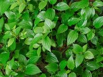 Le foglie verdi di Chaplo fotografie stock