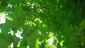Le foglie verdi ed il sole con la bella lente si svasano contro la luce del sole video d archivio