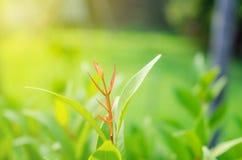 le foglie verdi hanno messo fuori i foglia-germogli sono rosse immagine stock libera da diritti
