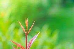 le foglie verdi hanno messo fuori i foglia-germogli sono rosse immagini stock