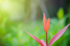 le foglie verdi hanno messo fuori i foglia-germogli sono rosse immagini stock libere da diritti