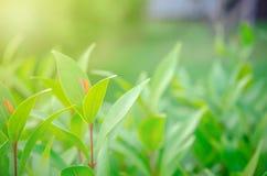 le foglie verdi hanno messo fuori i foglia-germogli sono rosse fotografia stock