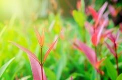 le foglie verdi hanno messo fuori i foglia-germogli sono rosse fotografie stock libere da diritti