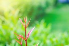 le foglie verdi hanno messo fuori i foglia-germogli sono rosse immagine stock
