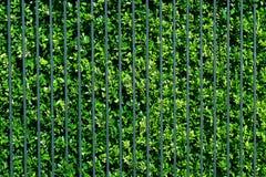 Le foglie verdi murano e metal il recinto Immagini Stock
