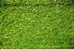 Le foglie verdi murano per fondo Fotografia Stock Libera da Diritti