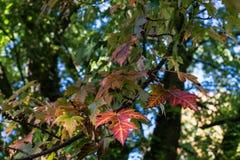 Le foglie verdi rosse coprono di foglie sull'albero nella stagione di caduta di autunno Immagini Stock