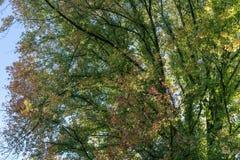 Le foglie verdi rosse coprono di foglie sull'albero nella stagione di caduta di autunno Fotografia Stock Libera da Diritti