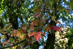 Le foglie verdi rosse coprono di foglie sull'albero nella stagione di caduta di autunno Immagini Stock Libere da Diritti