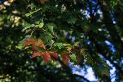 Le foglie verdi rosse coprono di foglie sull'albero nella stagione di caduta di autunno Fotografia Stock