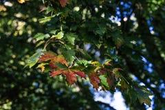 Le foglie verdi rosse coprono di foglie sull'albero nella stagione di caduta di autunno Immagine Stock