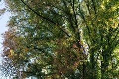 Le foglie verdi rosse coprono di foglie sull'albero nella stagione di caduta di autunno Immagine Stock Libera da Diritti