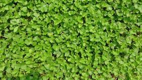 Le foglie verdi sono molto dense fotografia stock libera da diritti