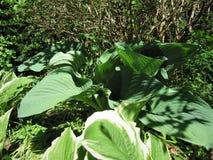 Le foglie verdi sono ospiti Immagini Stock Libere da Diritti