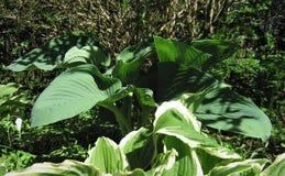 Le foglie verdi sono ospiti fotografie stock libere da diritti