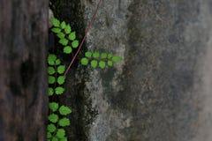 Le foglie verdi stanno sviluppando nel posto adatto della parete sporca del cemento, per i precedenti immagini stock