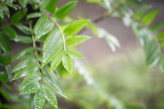Le foglie verdi su un ramo Fotografie Stock