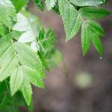 Le foglie verdi su un ramo Fotografia Stock
