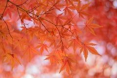 Le foglie vibranti di Autumn Maple del giapponese abbelliscono con fondo vago Fotografie Stock