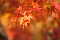 Le foglie vibranti di Autumn Maple del giapponese abbelliscono con fondo vago Fotografie Stock Libere da Diritti