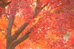 Le foglie vibranti di Autumn Maple del giapponese abbelliscono con fondo vago Fotografia Stock Libera da Diritti