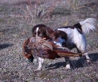 Le foie et le travail blanc dactylographient le chien de chasse d'animal familier d'épagneul de springer anglais Image stock