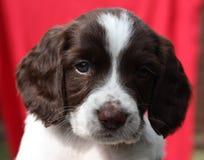Le foie et le travail blanc dactylographient le chien de chasse d'animal familier d'épagneul de springer anglais Photo stock