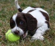 Le foie et le travail blanc dactylographient le chien de chasse d'animal familier d'épagneul de springer anglais Photographie stock libre de droits