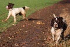 Le foie et le travail blanc dactylographient le fonctionnement de chiens de chasse d'animal familier d'épagneul de springer angla Photographie stock