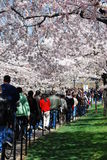 Le folle godono del festival nazionale 2008 del fiore di ciliegia Immagini Stock Libere da Diritti