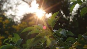 Le fond abstrait de nature avec le vert, le soleil passe par de belles feuilles pendant la soirée banque de vidéos
