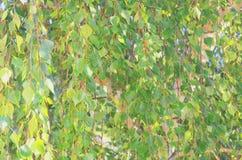Le fond abstrait du feuillage vert sur le bouleau s'embranche Image stock