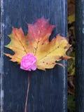 Le fond automnal avec une feuille et un rose a monté Image stock