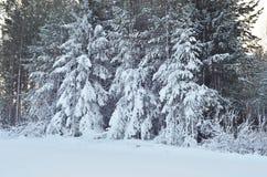 Le fond avec des arbres d'hiver à la forêt Images stock