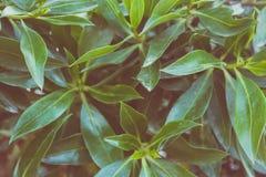 Le fond botanique de feuillage de Bush part du modèle Couleurs jaunâtres vertes vibrantes Style à la mode Matte Effect de hippie Photo stock