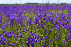 Le fond a brouillé la vue de paysage d'un champ des fleurs de jacinthe des bois Photos libres de droits