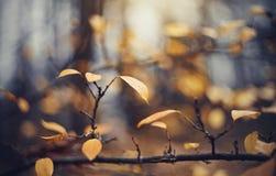 Le fond d'automne avec le jaune part sur des branches d'un cotoneaster Photos stock