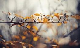 Le fond d'automne avec le jaune part sur des branches d'un cotoneaster Photographie stock libre de droits