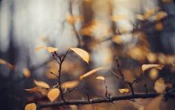 Le fond d'automne avec le jaune part sur des branches d'un cotoneaster Photographie stock