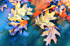 Le fond d'automne avec le chêne laisse le flottement sur l'eau Photos libres de droits