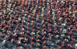 Le fond de blanc, de rose et le rouge fleurit le bégonia Photographie stock