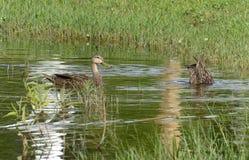 Le fond de canards Image libre de droits