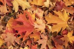 Le fond de l'érable brillamment coloré d'automne part au sol dans orange et jaune rouges photographie stock