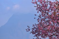 Le fond de l'Himalaya sauvage de cerise est montagne photographie stock libre de droits