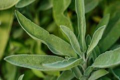 Le fond de la sauge verte part dans le jardin, herbes aromatiques Images stock