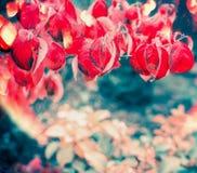 Le fond de nature d'automne avec l'arbre rouge flamy part, lumière du soleil image stock