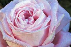 Le fond de rose de rose, fleur fraîche avec de l'eau chute Image libre de droits