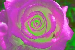 Le fond de rose de rose, fleur fraîche avec de l'eau chute Images stock